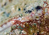 Orange-throat Pike-blenny, Chaenopsis alepidota, feeding on an unidentified shrimp, Mexico, Sea of Cortez, Gulf of California, Pacific Ocean