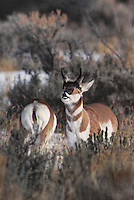 673088658v a wild pronghorn antelope antilocarpa americana exhibits flehming behavior with a herd in a snow covered field near yellowstone national park wyoming