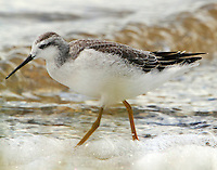 Wilson's phalarope in winter plumage