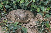 Texas Toad, Bufo speciosus, adult digging in for protection, Starr County, Rio Grande Valley, Texas, USA
