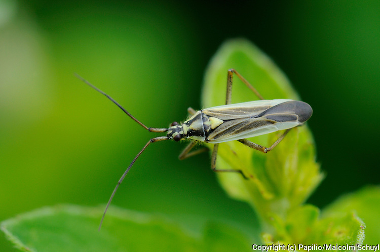 Meadow Plant Bug (Leptoterna dolabrata) male resting on leaf, Oxfordshire, UK.