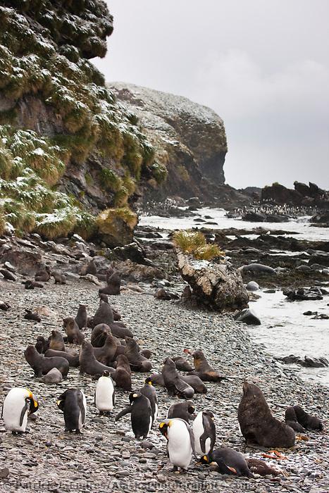 Macaroni and King penguins, Cooper Bay, South Georgia Island.