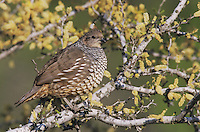 Scaled Quail, Callipepla squamata, adult on blooming Blackbrush Acacia (Acacia rigidula) , Starr County, Rio Grande Valley, Texas, USA, March 2002