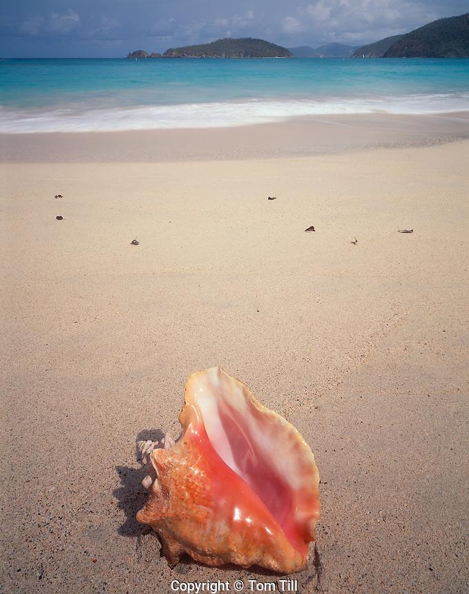 Queen Conch at Cinnamon Bay, Virgin Islands National Park, St. John,  U.S. Virgin Islands
