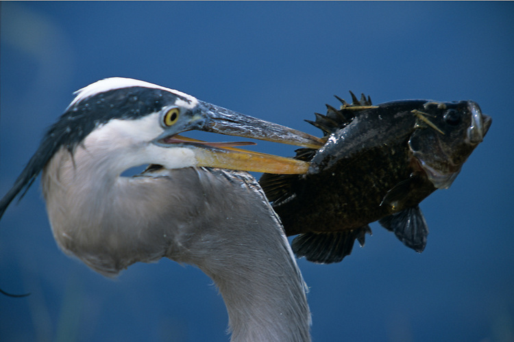 A Great Blue Heron has impaled a large pan fish with its beak. Location: Florida, Everglades, Taminami trail,