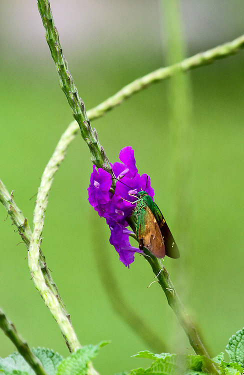A Green Flasher sipping from a purple flower on a stalk of same. The flasher's metallic green body shows well with its tan wings closed.