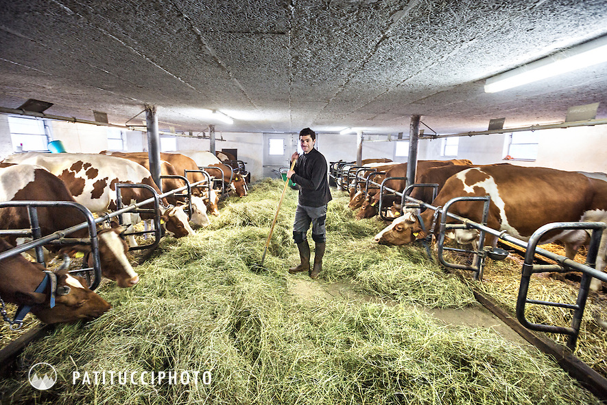A Swiss farmer inside his barn feeding his cows during winter, Rougemont, Switzerland