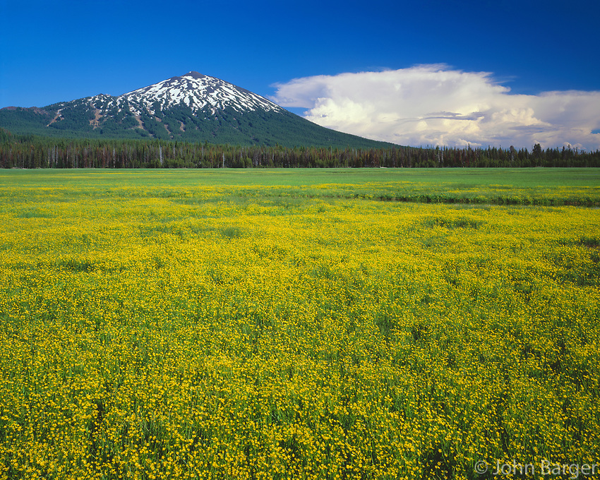 ORCAC_157 - USA, Oregon, Deschutes National Forest, Mount Bachelor rises above extensive bloom of subalpine buttercup in wet meadow near Sparks Lake.