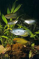 """Goldener Fadenfisch und Mosaikfadenfisch, Goldgurami, Zuchtform von Gepunkteter Fadenfisch, Punktierter Fadenfisch, Blauer Fadenfisch, Trichopodus trichopterus, Trichogaster trichopterus, """"gold"""", gold gourami, three spot gourami, blue gourami, Le Gourami bleu, Mosaikfadenfisch, Mosaik-Fadenfisch, Trichopodus leerii, Trichogaster leerii, pearl gourami, lace gourami, mosaic gourami, Le gourami perlé, Gourami lerry, Gourami mosaïque, Labyrinthfische, Fadenfische, Anabantoidei"""