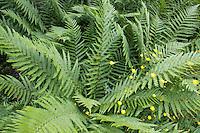 Gewöhnlicher Wurmfarn, Echter Wurmfarn, Männerfarn, Dryopteris filix-mas, male fern, worm fern