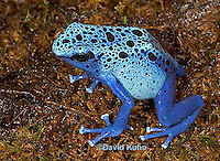 0929-07xx  Dendrobates azureus - Blue Poison Arrow Frog ñ Blue Dart Frog  © David Kuhn/Dwight Kuhn Photography