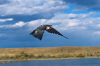527950037 a captive falconers peregrine falcon falco perigrinus flies above a small lake in central colorado