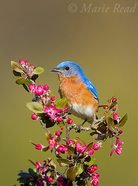 Eastern Bluebird (Sialia sialis) male perched on flowering crabapple, New York, USA.<br /> (Digitally retouched image - leaf to L of bird's bill removed)
