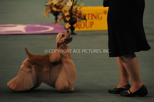 WWW.ACEPIXS.COM . . . . . ....February 12 2008, New York City....Competitors at the 132nd Annual Westminster Kennel Club Dog Show in Manhattan....Please byline: KRISTIN CALLAHAN - ACEPIXS.COM.. . . . . . ..Ace Pictures, Inc:  ..(212) 243-8787 or (646) 679 0430..e-mail: picturedesk@acepixs.com..web: http://www.acepixs.com