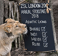 Asiatic Lions at London Zoo stocktake<br /> Annual stocktake of every creature in the zoo, spanning 850 species, postponed from January after a fire in just before Christmas last year, in which a number of animals died, at London Zoo <br /> London Zoo Stocktake photocall, London, England on February 07, 2018.<br /> CAP/JOR<br /> &copy;JOR/Capital Pictures
