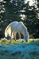 "White stallion (named ""Cloud"" in PBS documentary on wild hores),  Pryor Mountain Wild Horse Refuge, Montana.  Summer..(Equus caballus)"