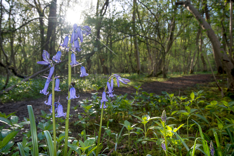 Bluebell - Hyacinthoides non-scripta, Stoke Woods, Bicester, Oxfordshire
