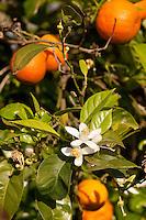 Gewöhnliche Mandarine, Blüten, Citrus reticulata, Common Mandarin