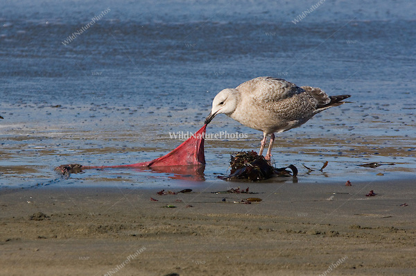 Herring Gull (Larus argentatus) with Elephant Seal afterbirth