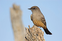 Adult Say's Phoebe (Sayornis saya). Cimarron National Grassland, Kansas. April.