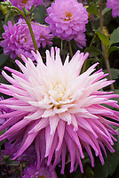 Dahlia 'Hillcrest Candy' cactus type pink and white