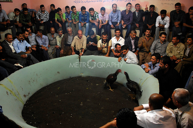 SULAIMANIYAH, IRAQ:  A large crowd watches two roosters fight...People watch cook fighting in the tea shop in Iraqi Kurdistan...Photo by Julie Adnan/ Metrography