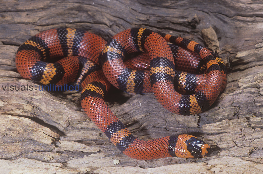 Honduran Milk Snake (Lampropeltis triangulum hondurensis), Honduras.