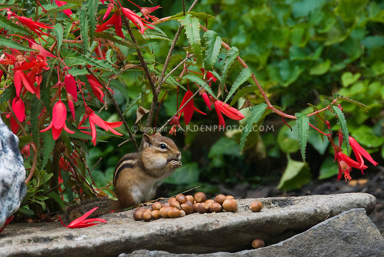 Eastern Chipmunk Tamias striatus animal mammal rodent eating acorn nuts in mouth cheek of Quercus marllandica, Blackjack Oak, aka Scrub Oak, next to colorful red flowers of Begonia and a homemade pot ornament in the garden atop a rock.