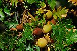 acorns and oak leaves