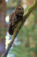 Spotted owl calling in old growth forest, Mt. Baker National Forest, Washington