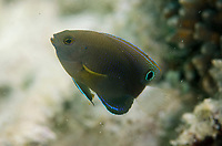 Bracelet Damselfish, Carangoides ferdau, Kelor Island, near Flores Island, Komodo National Park, Indonesia, Indian Ocean