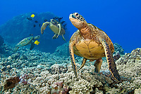 green sea turtle, Chelonia mydas, at cleaning station, being cleaned by yellow tang, Zebrasoma flavescens, and gold-ring surgeonfish, Ctenochaetus strigosus, (endemic to Hawaii), Kona Coast, Big Island, Hawaii, USA, Pacific Ocean