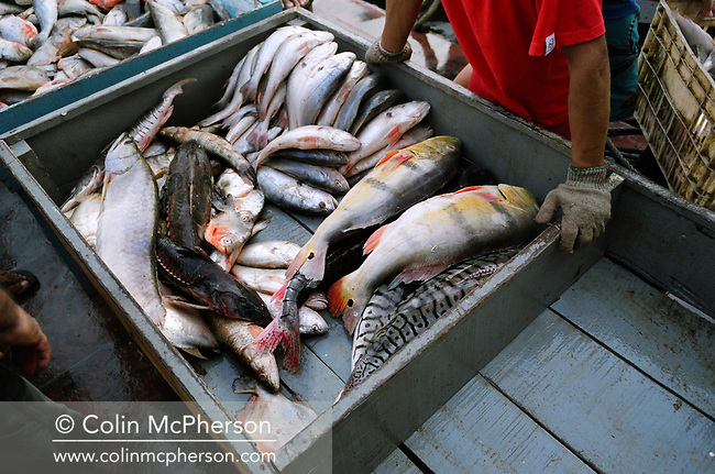 A box of mixed fish including rainbow bass (tucunare) piranha and cat fish for sale at Manaus fish market having been caught in the freshwater rivers Amazon and Rio Negro. 2005 saw the worst drought in the region for 60 years which affected fish sizes and catches. Declining catches were also blamed on the loss of river habitats due to deforestation of the Amazonian rainforest.