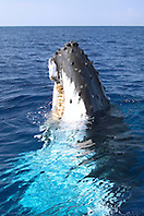 humpback whale spyhopping, Megaptera novaeangliae, Big Island, Hawaii, Pacific Ocean