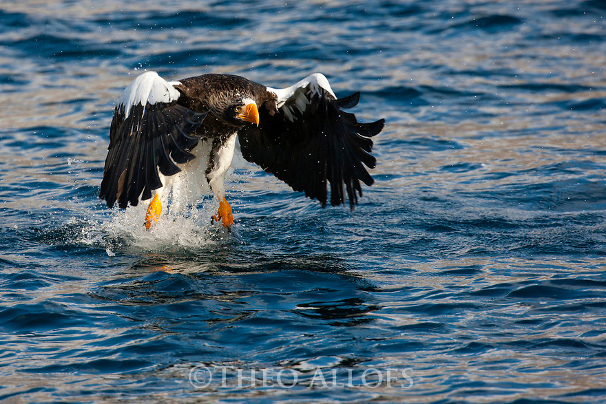 Japan, Hokkaido, Steller's sea eagle catching fish out of ocean
