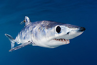 shortfin mako shark, Isurus oxyrinchus, with parasitic copepods, San Diego, California, USA, Pacific Ocean