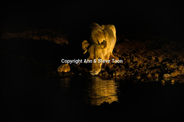 Lioness (Panthera leo) drinking at night, Zimanga private game reserve, KwaZulu-Natal, South Africa, May 2017