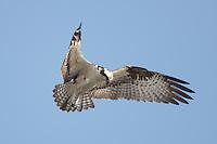 Osprey (Pandion haliaetus) hunting for fish in Tampa Bay, Fort Desoto Park, near St. Petersburg, Florida