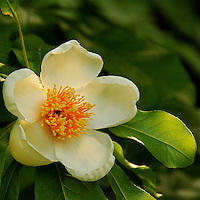 A close-up of a white Franklin tree flower -Franklinia.