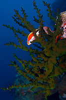 Forsters hawkfish (paracirrhites forsteri) pair sitting in a green tubastrea hard coral, The pinnacles, Loloata, Bootless bay, Coral sea, Pacific ocean, Papua New Guinea, Asia