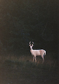 Albino white-tailed deer (Odocoileus virginianus) in velvet.