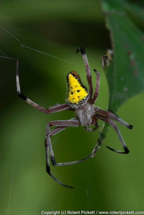 Cribellate Spider, Family Uloboridae, Manu Peru, on web, night, jungle, amazon, yellow triangle abdomen, on form of orb web.South America....