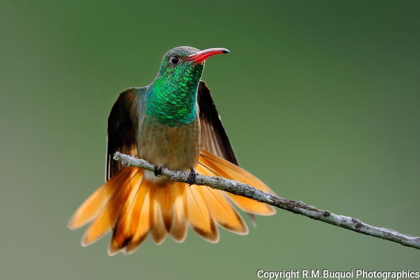 Buff-bellied Hummingbird, South Texas