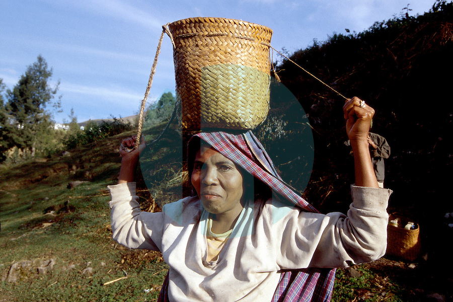 August 28, 2001-Monatari, East Timor-A woman carries a basket on her head while picking coffee in the hills near the tiny village of Manotari located on the road between Maubissi and Ainaro.  Coffee is one of East Timor's only experts at the moment.  Photograph by Daniel J. Groshong/Tayo Photo Group