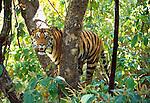 Tiger, Kanha National Park, India