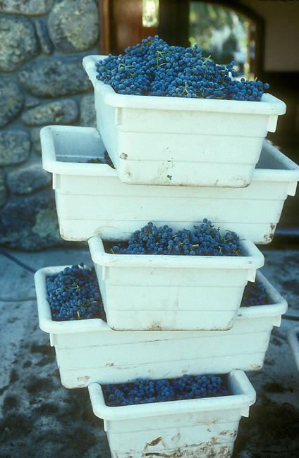 Cabernet sauvignon grapes wait crushing at winery in St. Helena, Ca