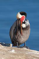 California Brown Pelican (Pelecanus occidentalis) stretching and preening on a cliff over the Pacific ocean, La Jolla, California