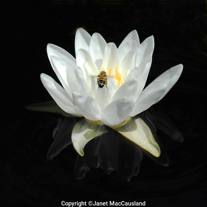 Fragrant Water Lily & Bee
