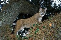 Florida Cougar kitten