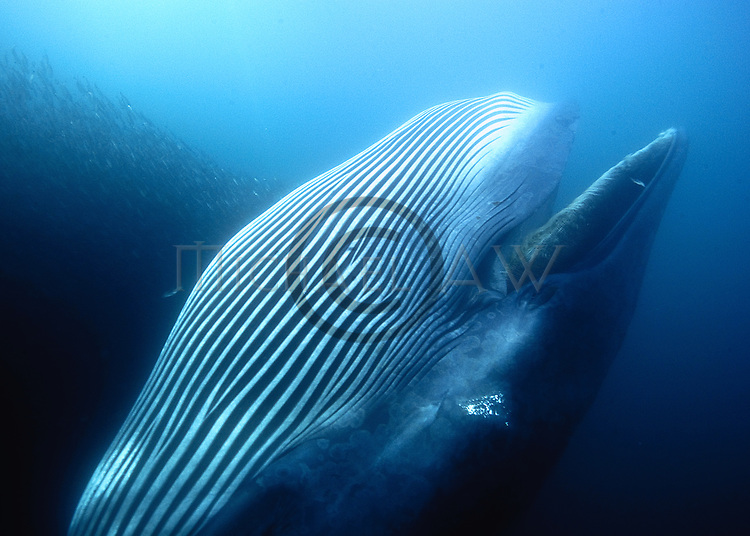 Bryde whale; (Balaenoptera edeni) feeding on sardine